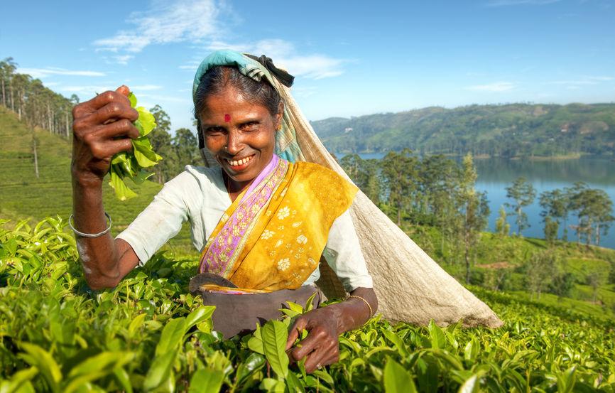 Teaszedő Srí Lankán