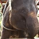 Egy újfajta tanúsítvány az elefántok védelmére ösztönözElefántok a teaültetvényeken