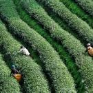 Nemzetközi teanap - petíció Betakarítás teaültetvényen