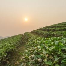 Csökken a first flush tea termelése Teaültetvény